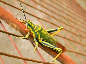 a grasshopper on our fence