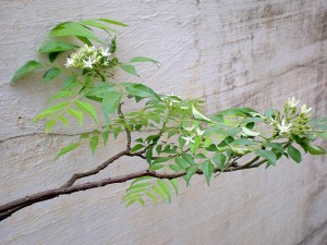 a sweet neem branch growing against our wall