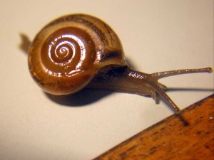 snail on my table