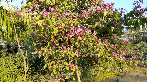 flowering-tree-growing-in-manisha-park