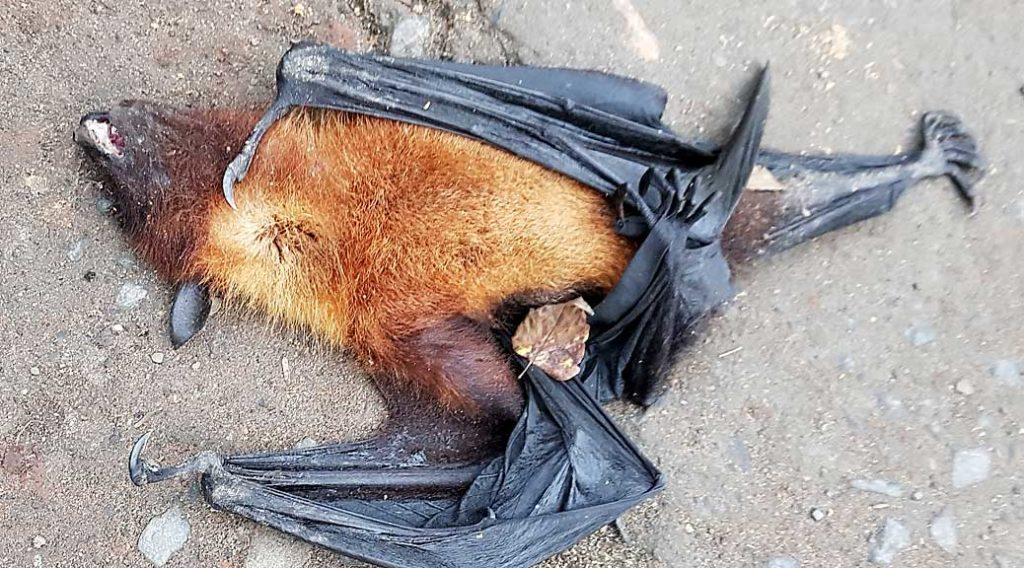 bat killed by hail