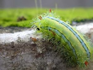 monsoon-caterpillar
